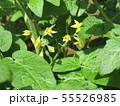50円種で沢山育ったミニトマトの黄色い花 55526985