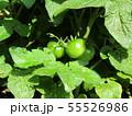50円種で沢山育ったミニトマトの未熟な実 55526986