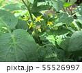 50円種で沢山育ったミニトマトの黄色い花 55526997