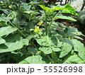 50円種で沢山育ったミニトマトの黄色い花 55526998