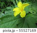 黄色の色の綺麗なゴーヤの花 55527169