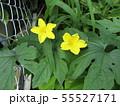黄色の色の綺麗なゴーヤの花 55527171