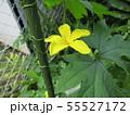 黄色の色の綺麗なゴーヤの花 55527172
