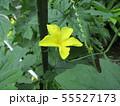黄色の色の綺麗なゴーヤの花 55527173