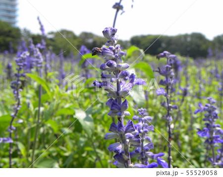 青い色のサルビアの花  55529058