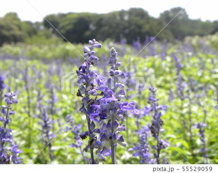 青い色のサルビアの花  55529059