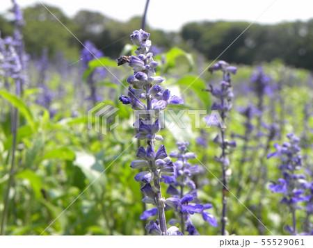 青い色のサルビアの花  55529061