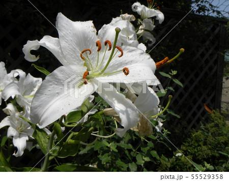 白い大きな花の百合はカサブランカ  55529358