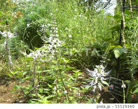 ネコヒゲとも呼ばれるキャッツウィスカーは白い花 55529360