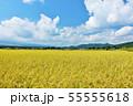 秋の青空と豊作の田んぼ 55555618