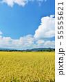 秋の青空と豊作の田んぼ 55555621
