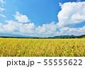 秋の青空と豊作の田んぼ 55555622