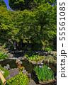 鎌倉 長谷寺 放生池に浮かぶ花菖蒲 55561085
