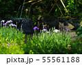 鎌倉 長谷寺 放生池に浮かぶ花菖蒲 55561188