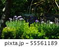 鎌倉 長谷寺 放生池に浮かぶ花菖蒲 55561189
