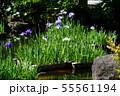 鎌倉 長谷寺 放生池に浮かぶ花菖蒲 55561194