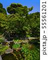 鎌倉 長谷寺 放生池に浮かぶ花菖蒲 55561201
