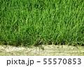 緑 稲 水田 55570853
