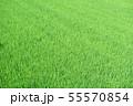 緑 稲 水田 55570854