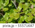Portuguese oak 55571687