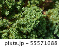 Japanese garden juniper 55571688
