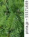 Colorado white fir 55571689