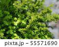 Japanese cedar Vilmoriniana 55571690