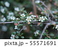Littleleaf cotoneaster Cochleatus 55571691