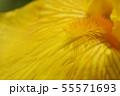 Tall bearded iris Fox Fire 55571693