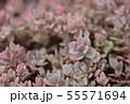Showy stonecrop 55571694