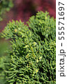 Chinese juniper Kaizuka 55571697