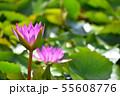 紫色した睡蓮の花の写真素材 55608776
