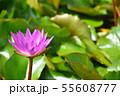 紫色した睡蓮の花の写真素材 55608777