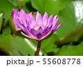 紫色した睡蓮の花の写真素材 55608778