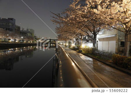 新川千本桜 並木 夜景 55609222