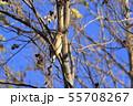 野鳥 シメ 55708267