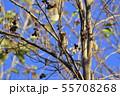野鳥 シメ 55708268