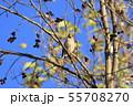 野鳥 シメ 55708270