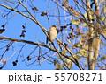 野鳥 シメ 55708271