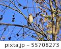 野鳥 シメ 55708273