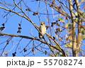 野鳥 シメ 55708274