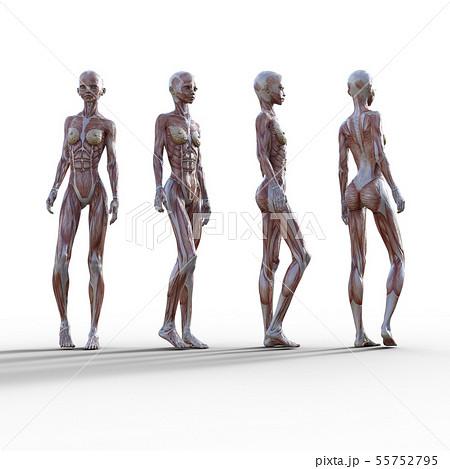 女性 解剖 筋肉 3DCG イラスト素材 55752795