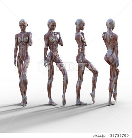 女性 解剖 筋肉 3DCG イラスト素材 55752799