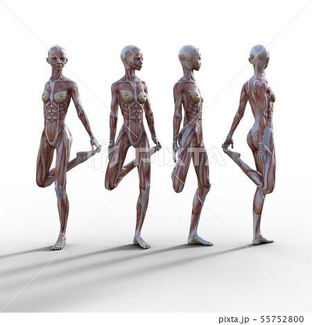男性 解剖 筋肉 3DCG イラスト素材 55752800