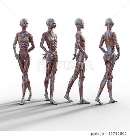 女性 解剖 筋肉 3DCG イラスト素材 55752802