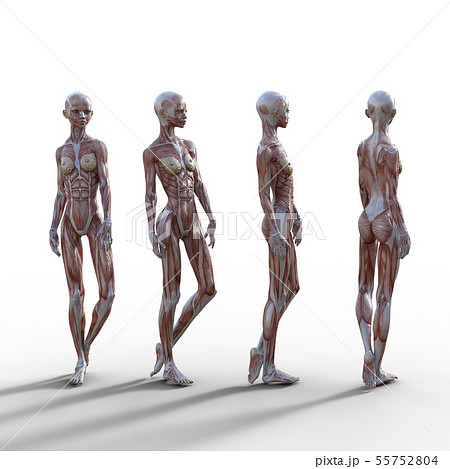 女性 解剖 筋肉 3DCG イラスト素材 55752804