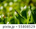 万葉の森 池 トンボ 55808529
