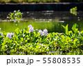 万葉の森 池 ホテイアオイ 55808535