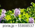 万葉の森 池 ホテイアオイ 55808537