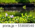 万葉の森 池 ホテイアオイ 55808540
